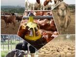 Livestock, ox gallstone and ostrich chicks - photo 5