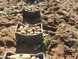 Картофель молодой - photo 1